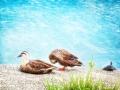 狭山池:鴨と鴨と亀さんと 2012-07-07