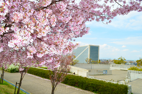 狭山池博物館と桜